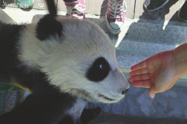 女大學生小韓偷摸大熊貓,引發網友指責,小韓表示事發時她沒有招惹大熊貓寶寶。(微博截圖)