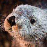 長堤太平洋水族館 最長壽南方海獺查理走了