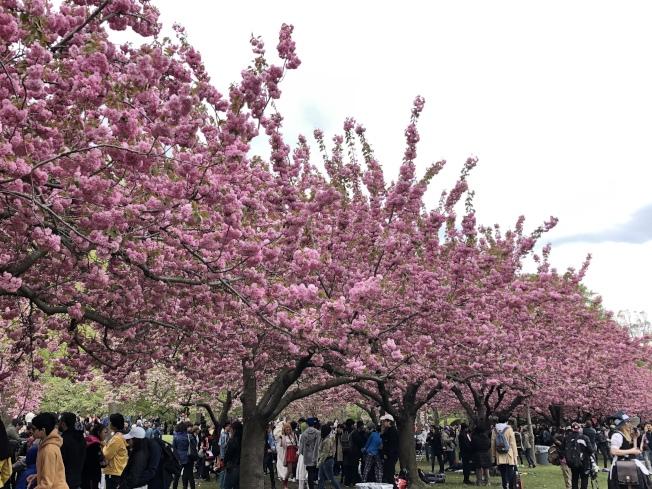 布碌仑植物园樱花已全开。(记者颜洁恩/摄影)