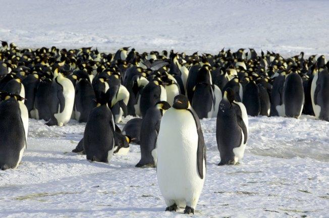 近年來,南極皇帝企鵝的繁殖數量大減。(路透資料照片)