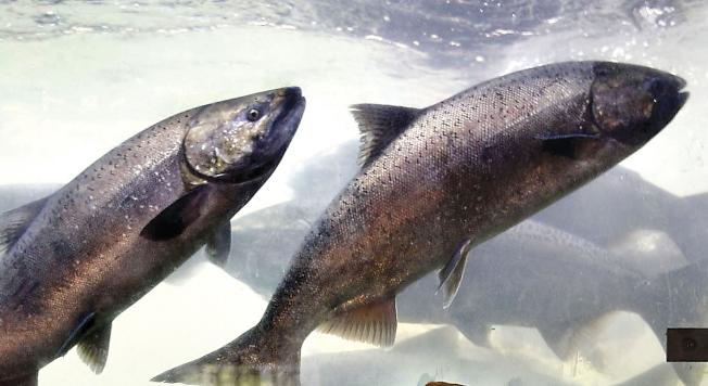 吃三文魚對頭髮生長有利。(美聯社)