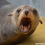 疑海洋失衡 飢餓海豹現身南加水域