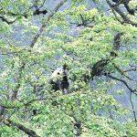 30年大調查 熊貓去哪兒?