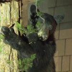 「別出門 妳家樹上有黑熊」 結果~~~居民圍觀偷拍照