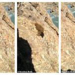 可憐棕熊被人追趕扔石 失足滾下河谷溺死