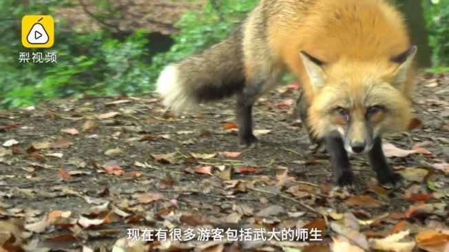 武漢大學今年製作一個35秒的視頻,以學校寶貝紅狐狸「珞珞」對外招生。(視頻截圖)