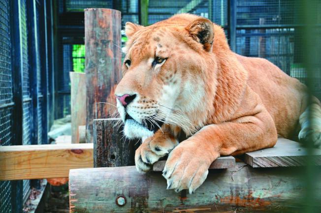 屏東科技大學的保育類野生動物收容中心,因政府補助經費大幅縮水,收容中心本月起推出13隻認養大使對外號召認養,有四成的認養人集中關注獅虎「阿彪」,但這裡動物幾乎都是非法捕獵或走私下的活口,也都有悲慘身世。(圖:屏科大保育類野生動物收容中心提供)