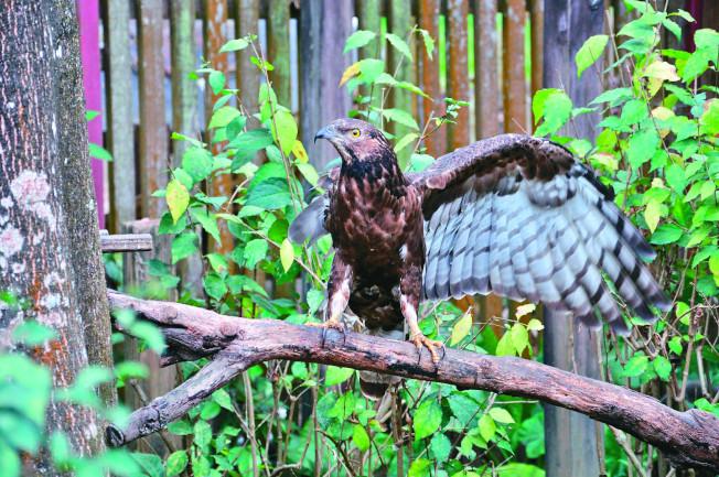 因為獵人的貪婪,只剩一隻翅膀的蜂鷹,永遠也飛不回山林。(圖:屏科大保育類野生動物收容中心提供)
