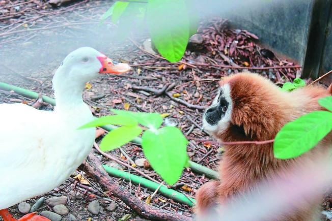 長臂猿「阿祿」怕寂寞又無法與同類相處,只能與鴨子當室友。(圖:屏科大保育類野生動物收容中心提供)