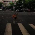打架後跳河出逃…袋鼠閒逛寧波街頭