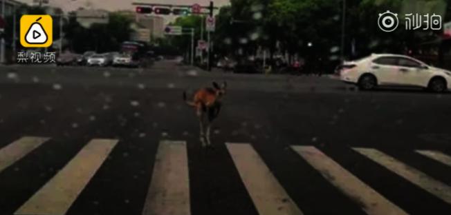 寧波街頭日前驚現袋鼠過馬路。(視頻截圖)
