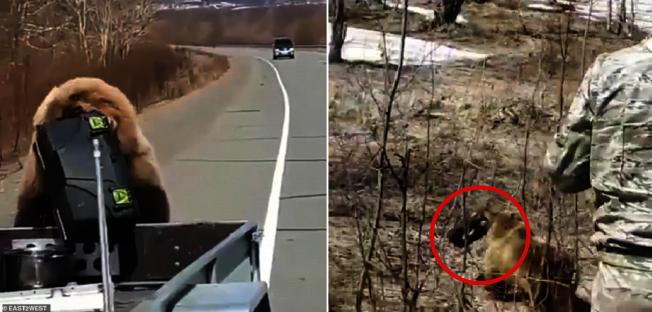 俄羅斯遠東地區堪察加半島上的一條高速公路上,日前出現一隻大棕熊,趁著獵人在路邊準備槍枝時,熟門熟路的溜到他們卡車後方,叼住裝食物的箱子拔腿就跑,在槍口下偷東西的行徑可說是「吃了熊心豹子膽」。圖片擷取YouTube/Anna Liesowska影片