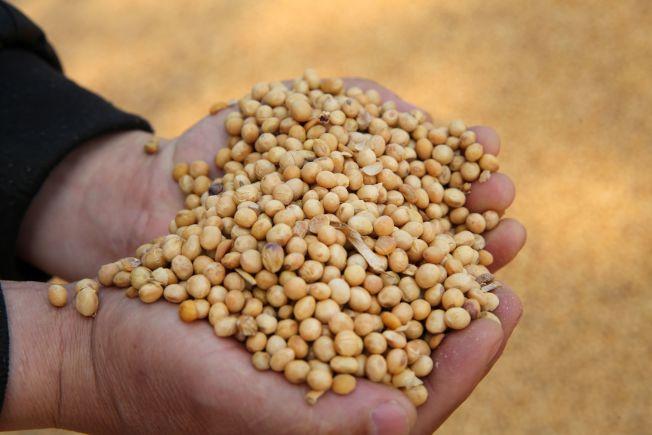 美中貿易戰升溫,川普政府擬推出新的農民紓困計畫。圖為中國江蘇南通港進口美國的大豆。(Getty Images)