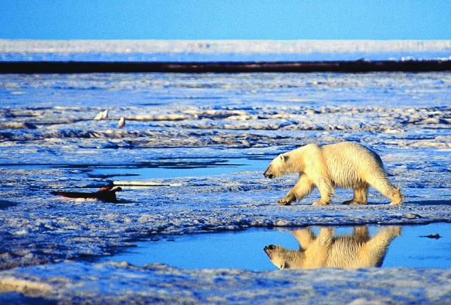 全球暖化令北極不斷破紀錄高溫,北極熊快沒安身之處。(美聯社資料照片)