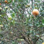 黃龍病肆虐 佛州90億元柑橘產業危機