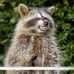 殭屍浣熊出沒芝河濱區 寵物主留意