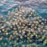 海中有一片片紙張?原來是「牠們」在群游