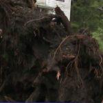 暴風雨橫掃芝城  百年老樹連根拔起