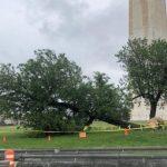 百年桑樹倒下 國家公園集思拯救