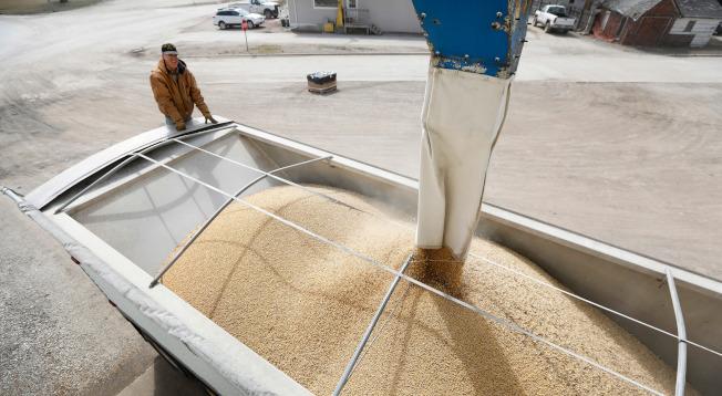 美國農民擔心政府援助不足,會使農業遭遇大衰退。圖為愛阿華州的農民正把大豆裝上車。(美聯社)