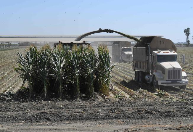 美國農民擔心政府援助不足,會使農業重大衰退。圖為加州農民正用機械收割玉米。(Getty Images)