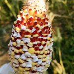 熱到爆!雲南玉米田被曬成爆米花