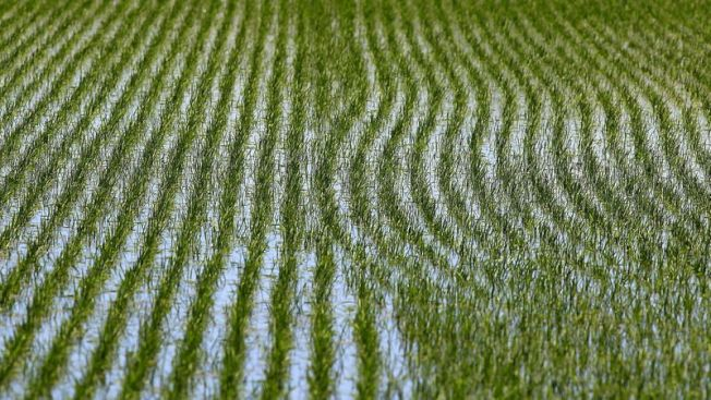 水稻種植產生甲烷,占人類排放量10%。(洛杉磯時報)