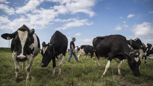飼養牲畜可能造成甲烷排放。(洛杉磯時報)