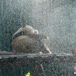 北京炙熱 大熊貓淋浴降溫
