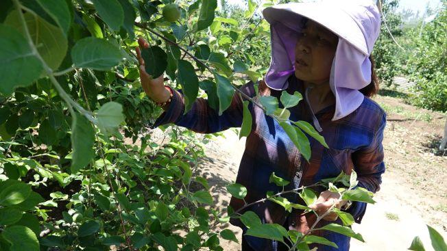 果農檢查蘋果樹。(取材自新京報)