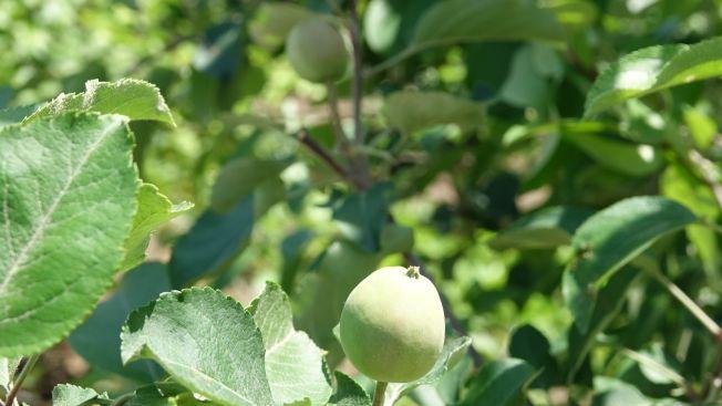 蘋果樹上已經掛果。(取材自新京報)