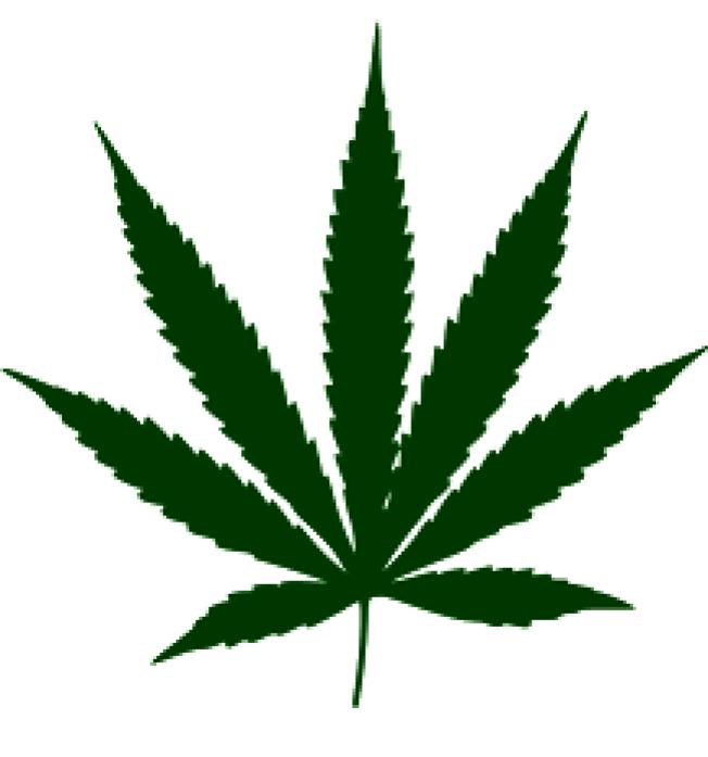 柔麻外觀似大麻,但不像大麻會導致情緒興奮、意識模糊。(維基)