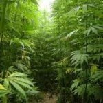 【大麻近親】德州柔麻油使用、栽種終解禁