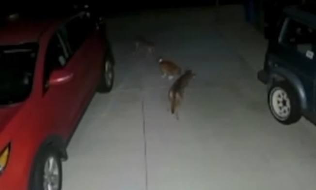 老貓被兩隻土狼包圍。(監視器畫面)