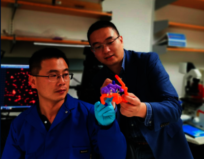 UCLA華裔教授顧臻(右)和博士後王金強。(UCLA提供)