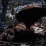 南加5月雪 凍死大熊湖白頭幼鷹