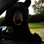 幸虧有鎖門!黑熊來開車門 羅德島婦女嚇壞