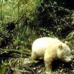 全球首例 四川拍到白化大貓熊