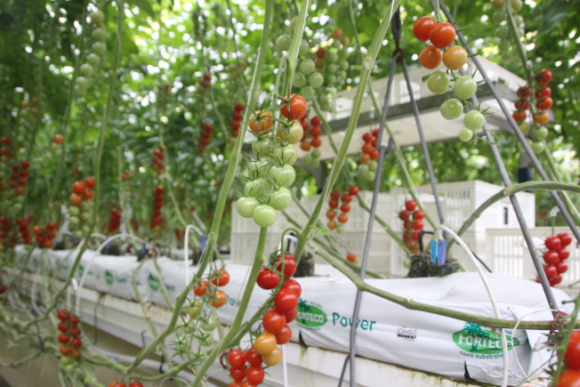 康復草有助番茄開花結果。(本報資料照片)