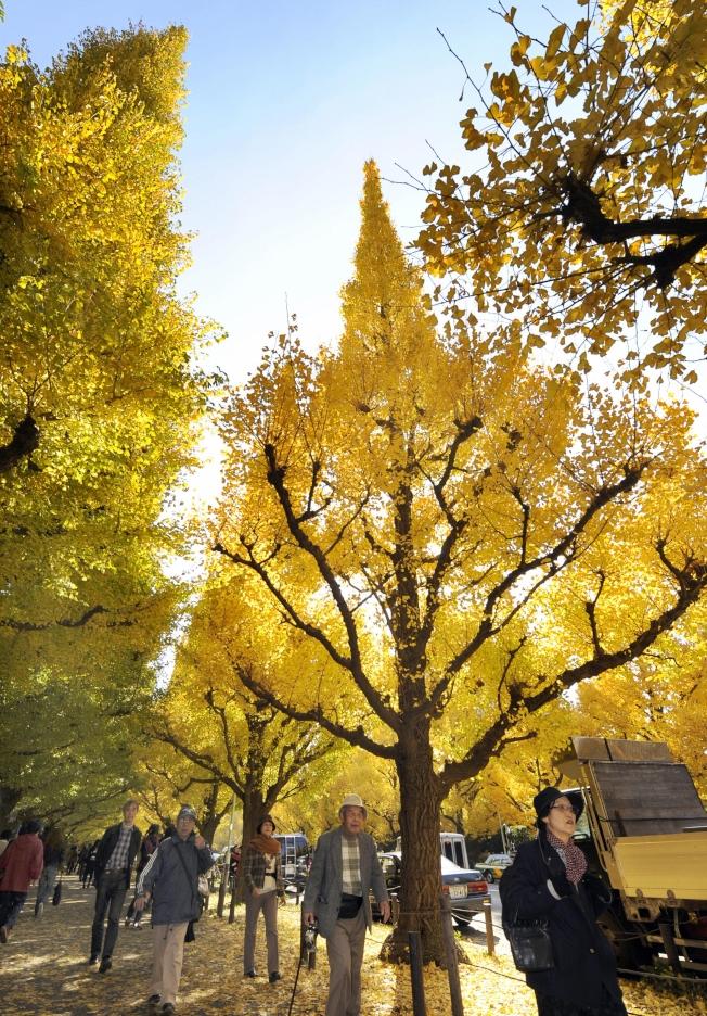 銀杏樹是最古老的樹種之一。(本報檔案照)