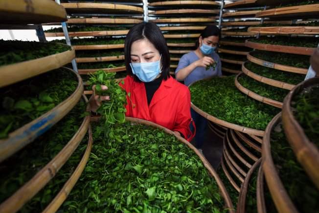 銀杏葉可以治病。圖為工人們在加工銀杏葉。(Getty Images)