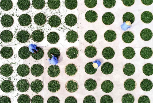 實驗結果為開發抗感染藥提供一個途徑。圖為人們在晾曬銀杏葉。(Getty Images)
