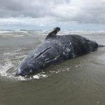 查死因! 70頭灰鯨相繼死亡