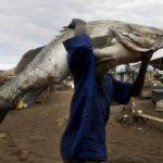 搶賺人民幣…非洲「魚鰾經濟」殺雞取卵 尼羅河鱸魚近滅絕