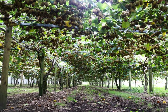 結實纍纍的奇異果棚架,是果農每年的希望。(記者陳昭妤/攝影)