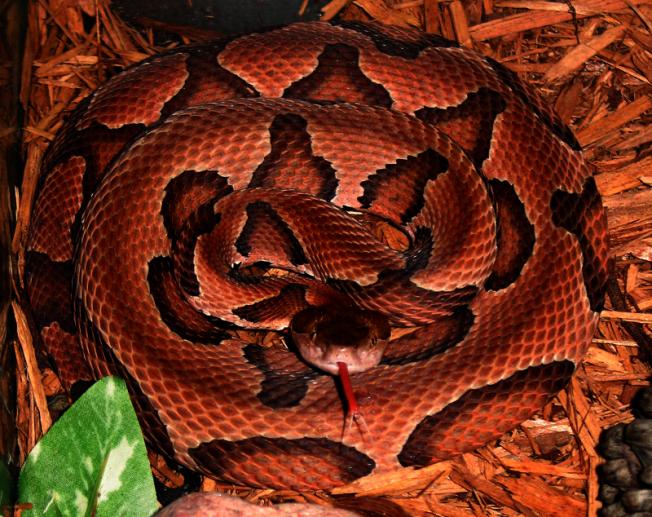 喬州蛇類季節到來,該州46種蛇類當中,僅6種有毒。而在亞特蘭大都會區,唯一可能見到的毒蛇為銅頭蝮蛇(copperhead)。(取自維基百科)