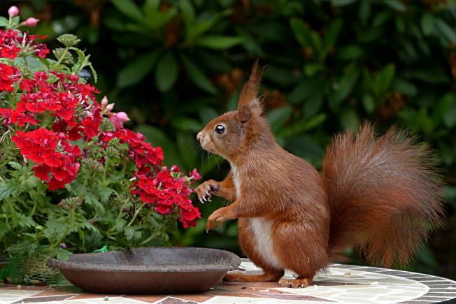 松鼠可能會破壞庭院中的花卉植物。(Pexels)