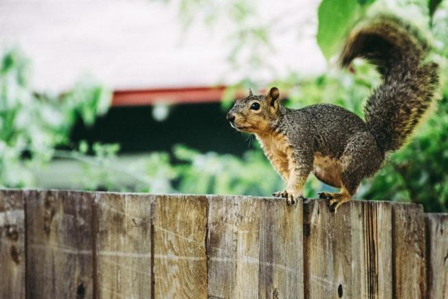 松鼠的攀爬及跳躍能力高,很容易進入人類生活區域。(Pexels)