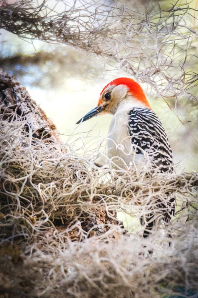 啄木鳥在樹上打洞的天性,有時會對樹木甚至人類財產造成危害。(Pixabay)