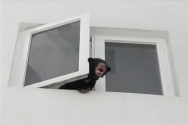 馬來西亞首都吉隆坡某間大樓寓所傳出怪異叫聲,消防人員前往探查,發現是一隻餓壞的馬來熊嘶吼。牠被一名女歌手非法飼養在寓所內。(截取自臉書影片)
